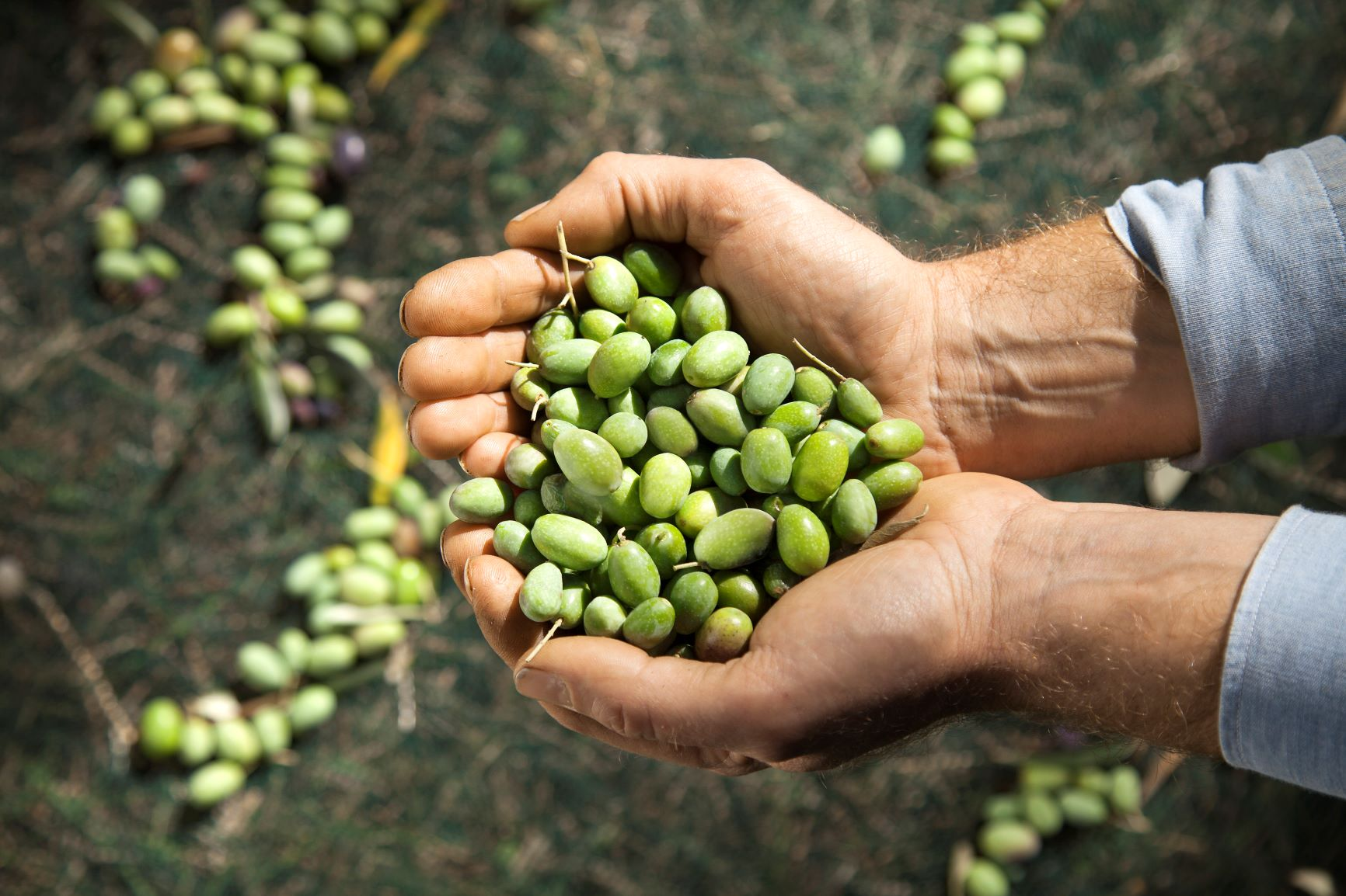 BERTOLLI frühe Olivenernte grüner Oliven