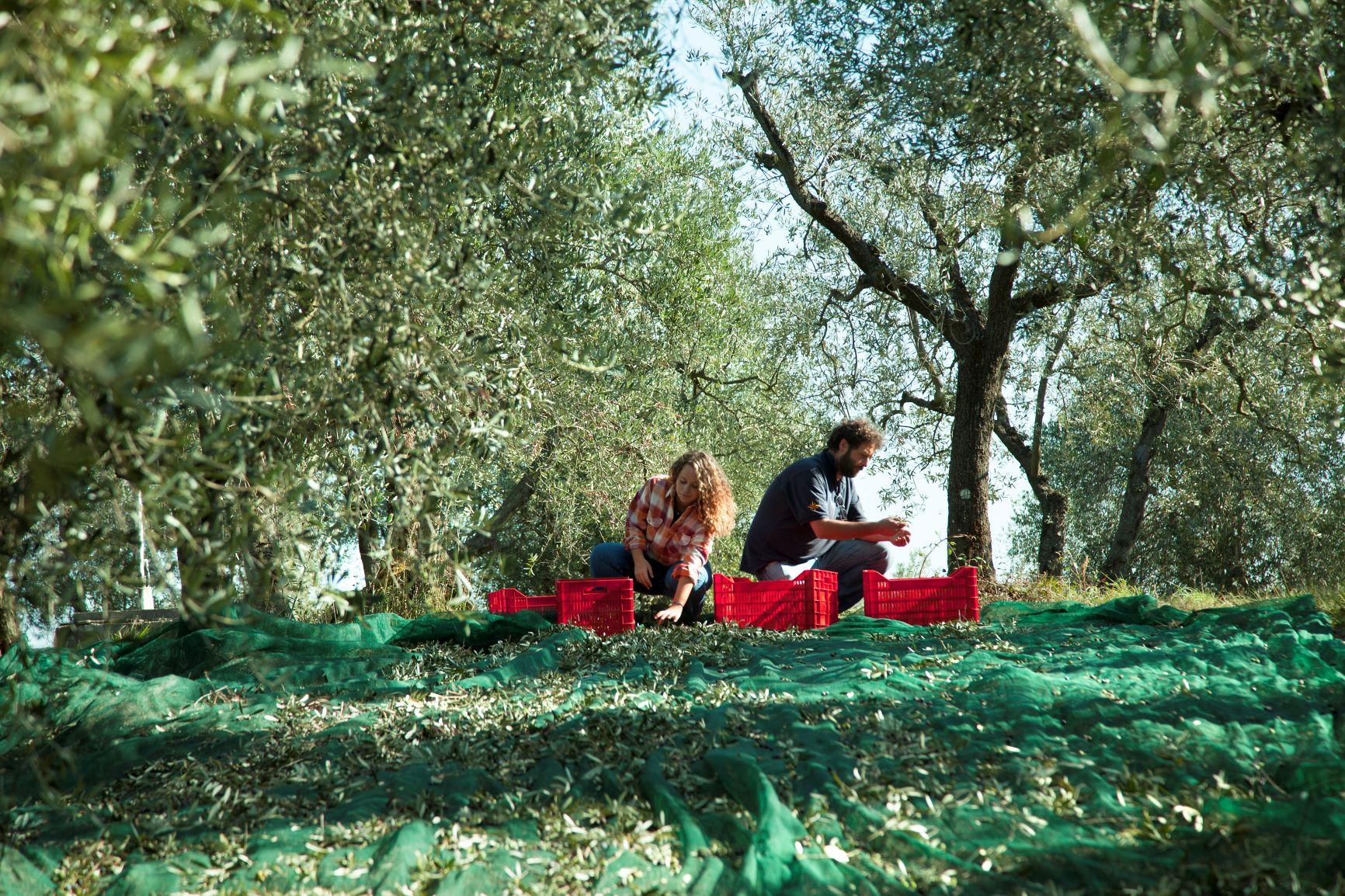BERTOLLI Olivenernte per Hand und Netz
