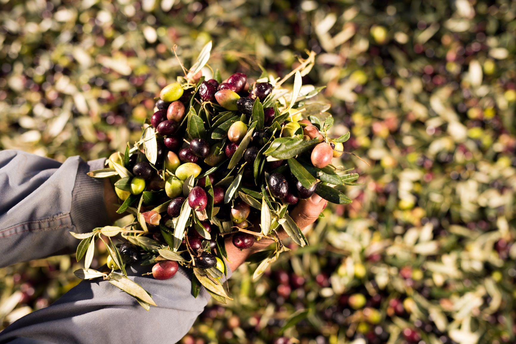 Nachhaltigkeit Olivenernte
